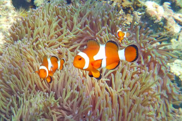 Eine Woche Insel Perhentian Besar (Stadt), Terengganu, Malaysia, Nemo-Fisch