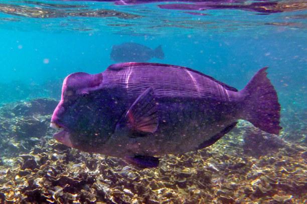 1 Woche Insel Perhentian Besar (Stadt), Terengganu, Malaysia, Büffelkopfpapageien-Fisch