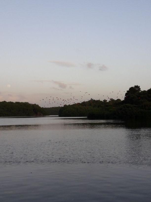 Drei Wochen Tobago, Trinidad und Tobago, Ein unglaubliches Schauspiel- tausende rote Ibis Vögel pilgern zu ein