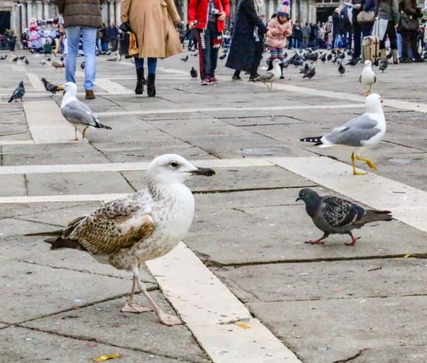 Kurztrip Venedig (Stadt), Venetien, Italien, Tierische Einheimische auf dem berühmten Markusplatz von Venedig. Abe