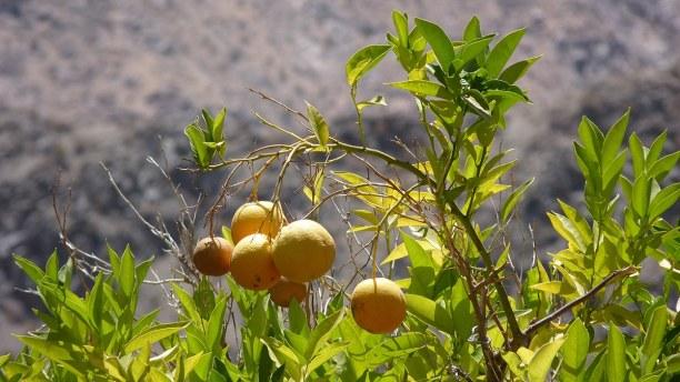 Kurzurlaub Pisco Elqui (Stadt), Zentralchile, Chile, Im Valle del Elqui wachsen leckere Orangen, die du auf dem kleinen Mar
